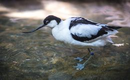 Image of avocet frolicking in the pond. Image of black and white avocet frolicking in the pond Royalty Free Stock Photo