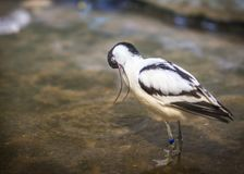 Image of avocet frolicking in the pond. Image of black and white avocet frolicking in the pond Royalty Free Stock Photos