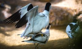 Image of avocet frolicking in the pond. Image of black and white avocet frolicking in the pond Stock Photos