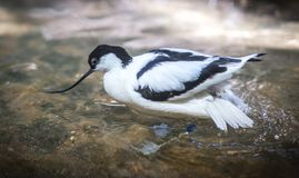 Image of avocet frolicking in the pond. Image of black and white avocet frolicking in the pond Stock Photography
