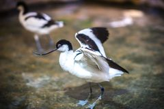 Image of avocet frolicking in the pond. Image of black and white avocet frolicking in the pond Royalty Free Stock Image