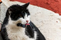 Image of a black and white cat royalty free stock image