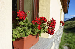 Image blooming flowers on the windowsill at home. Summer flowers in a pot on the windowsill outside on bright day royalty free stock image