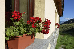 Image blooming flowers on the windowsill at home. Summer flowers in a pot on the windowsill outside on bright day stock photography