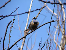 Image of Bluethroat. Image of bird branch Bluethroat Royalty Free Stock Image