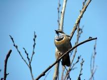 Image of Bluethroat. Image of bird branch Bluethroat Stock Photo