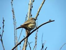 Image of Bluethroat. Image of bird branch Bluethroat Stock Photos