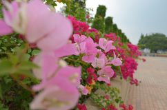 Bougainvillea paper flower Royalty Free Stock Photography