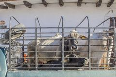 Image of brahman cows locked on a cargo van stock photography