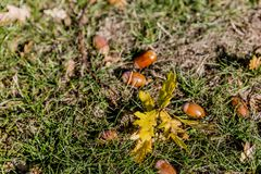 Branch with leaves and acorns on the grass on an autumn day stock image
