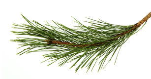 The image of a branch of the pine Stock Images