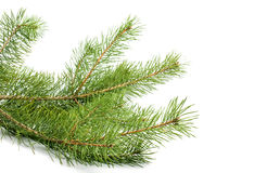 The image of a branch of the pine Stock Photos