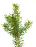The image of a branch of the pine Royalty Free Stock Photography