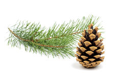 The image of a branch of the pine Royalty Free Stock Photo
