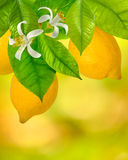 Image of branches with lemons Stock Photos