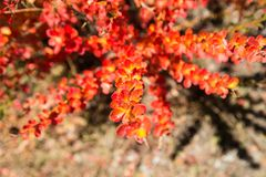Image of Bright red bushes on the Annapurna circuit trek, Nepal, Himalayas.  stock images