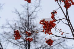 The image with the bright red Rowan berries under the snow. Background with bright red berries of mountain ash under snow Stock Photos