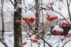 The image with the bright red Rowan berries under the snow. Background with bright red berries of mountain ash under snow Stock Photography