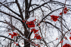 The image with the bright red Rowan berries under the snow. Background with bright red berries of mountain ash under snow Stock Image