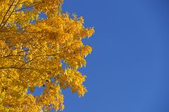 Yellow Leaves And Blue Sky Royalty Free Stock Photos