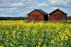 Yellow Canola Field and Two Old Granaries royalty free stock photo