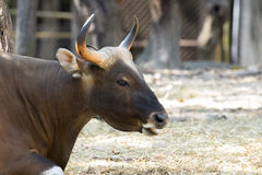Image of a brown bull on nature background. Wild animals stock photo