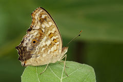 Image of brown butterfly Satyridae on green leaves. Insect Stock Images