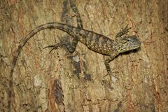 Image of brown chameleon on tree. Reptile. Animal Royalty Free Stock Photo