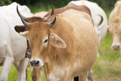 Image of brown cow stock photos