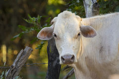 Image of brown cow on nature background. Royalty Free Stock Photo