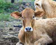 Image of brown cow on nature background. Royalty Free Stock Image