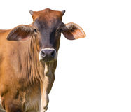 Image of brown cow on white background. royalty free stock images