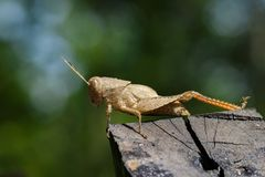 Image of brown grasshopper on the timber. Insect. Royalty Free Stock Image