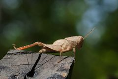 Image of brown grasshopper on the timber. Insect. Royalty Free Stock Photography