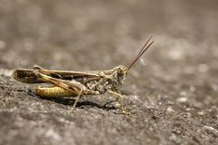 Image of Brown locust on the floor. Insect. Royalty Free Stock Photo