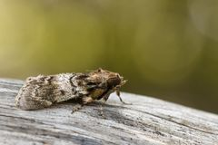 Image of Brown Moth Nannoarctia tripartita on tree. Insect. Animal Royalty Free Stock Image