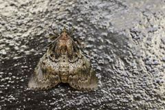 Image of Brown Moth Nannoarctia tripartita on tree. Insect. Animal Royalty Free Stock Photography