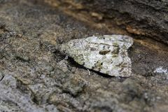 Image of Brown Moth Nannoarctia tripartita on tree. Insect. Animal Stock Images