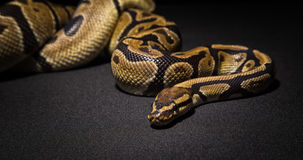 Image of brown pet snake Stock Image
