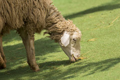Image of a brown sheep munching grass. Image of a brown sheep munching grass in farm royalty free stock photos