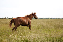 Image of a brown  throughbred horse mare running field. Chestnut thoroughbred horses Stock Images
