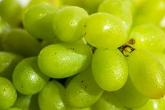 Close-up of Wet Green Grapes. Image of a bunch of wet fresh green grapes in the sunlight stock image