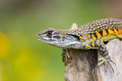 Image of Butterfly Agama Lizard Leiolepis Cuvier on nature bac. Kground. . Reptile Animal Royalty Free Stock Image