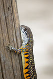 Image of Butterfly Agama Lizard Leiolepis Cuvier. Reptile Animal Royalty Free Stock Photography