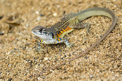 Image of Butterfly Agama Lizard Leiolepis Cuvier on the sand. Royalty Free Stock Images