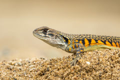 Image of Butterfly Agama Lizard Leiolepis Cuvier on the sand. Stock Photos