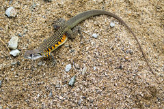 Image of Butterfly Agama Lizard Leiolepis Cuvier on the sand. Stock Photography