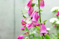 Image of butterfly on pink digitalis in garden Stock Photo