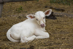 Image of calf on nature background. Royalty Free Stock Image