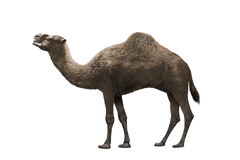 Image of camel Royalty Free Stock Photos